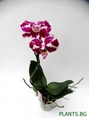 Орхидея Фаленопсис  PR1338
