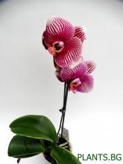 Орхидея Фаленопсис  PR1332