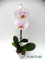 Орхидея Фаленопсис  PR1337