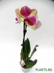 Орхидея Фаленопсис  PR1339