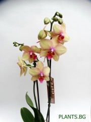 Орхидея Фаленопсис  PR1341