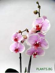 Орхидея Фаленопсис  PR1342