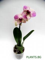 Орхидея Фаленопсис  PR1340