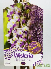 Вистерия  (Wisteria floribunda  'Issai')