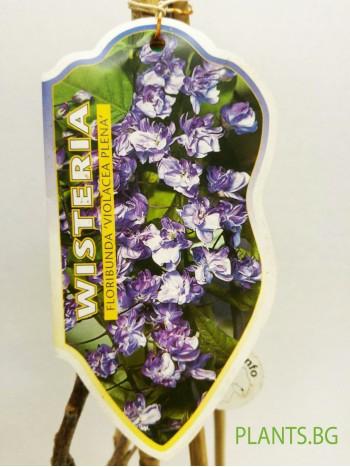 Вистерия  (Wisteria floribunda 'Violacea Plena')