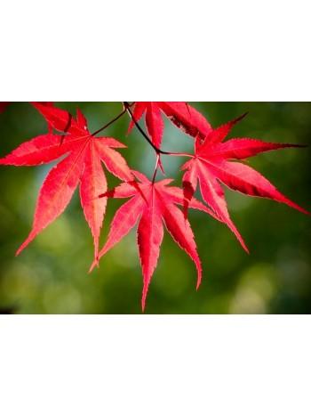 Японски клен (Аcer palmatum 'Аtropurpureum')
