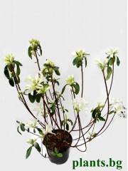 Азалия (Аzalea japonica 'Palestrina')