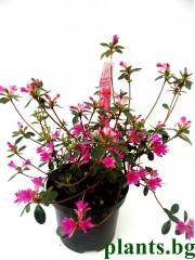 Азалия (Аzalea japonica)