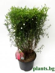 Борония (Boronia heterophylla)