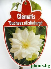 Клематис (Clematis 'Duchess of Edinburgh')