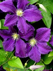 Клематис (Clematis 'Polish Spirit')