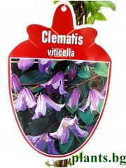 Клематис (Clematis  viticella)
