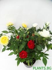 Роза-микс-3 броя