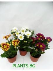 Хризантема- микс -3 броя - цвят на късмета