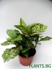 Аукуба (Aucuba japonica ' Variegata')