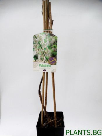 Вистерия (Wisteria longissima 'Alba')