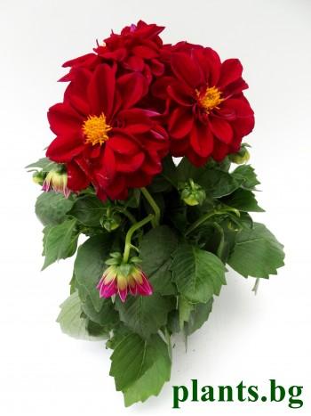 Далия - червена