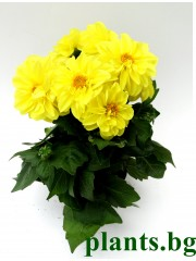 Далия - жълта