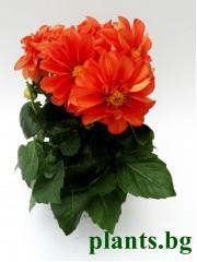 Далия - оранжева