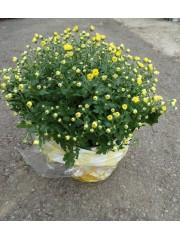 Хризантема - Топка