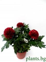 Хризантема - червена