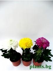 Хризантема -микс-3 броя