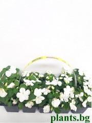 Импатиенс (циганче) - бяло