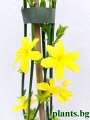 Жасмин (Jasminum nudiflorum)