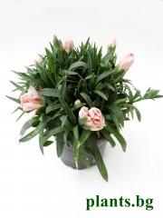 Карамфил - розов