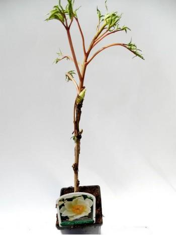 Дървовиден божур  Feng Dan Bai