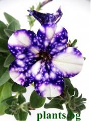 Петуния (Petunia 'Night Sky')