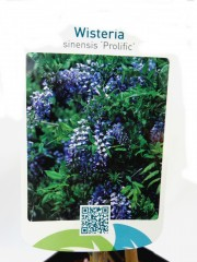 Вистерия (Wisteria sinensis 'Prolific')