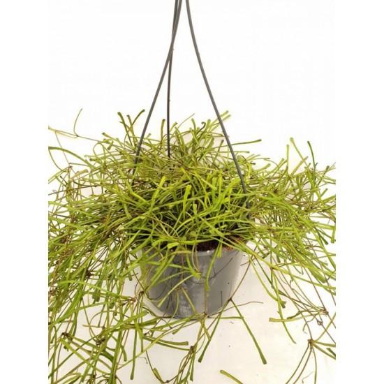 Хоя (Hoya  retusa) - PR4337