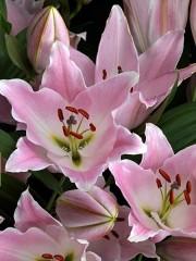Лилиум (Lilium) - 'Gracia' - 125 броя