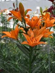 Лилиум (Lilium) - 'Pedrolino' - 400 броя
