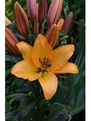 Лилиум (Lilium) - 'Corcovado' - 200 броя