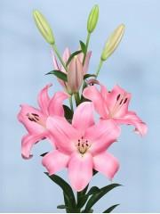 Лилиум (Lilium) - 'Tirreno' - 400 броя