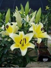 Лилиум (Lilium) - 'Catina' - 200 броя