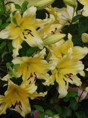 Лилиум (Lilium) - 'Baruta' - 150 броя