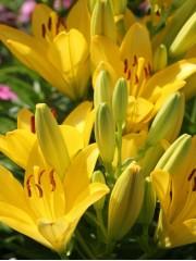 Лилиум (Lilium) - 'Golden Tycoon' - 200 броя