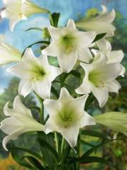 Лилиум (Lilium) - 'White Heaven' - 300 броя