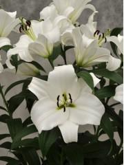 Лилиум (Lilium) - 'Franson' - 150 броя