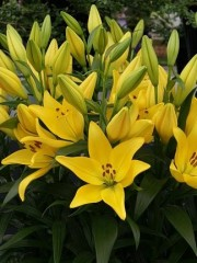 Лилиум (Lilium) - 'Scipione' - 200 броя