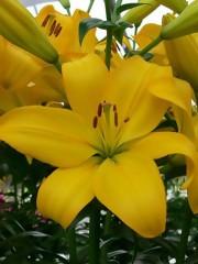 Лилиум (Lilium) - 'Beau Soleil' - 200 броя