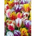 Лале (Tulipa 'Rembrand Gemengd') T13