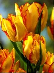 Лале (Tulipa 'Aquila') PR942