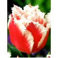 Лале (Tulipa 'Bell Song') T43