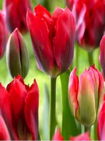 Лале (Tulipa 'Red Springgreen')