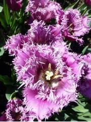 Лале (Tulipa 'American Eagle')  PR916