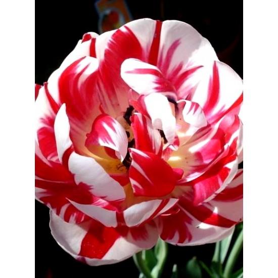 Лале (Tulipa 'Carnaval de Nice') T34